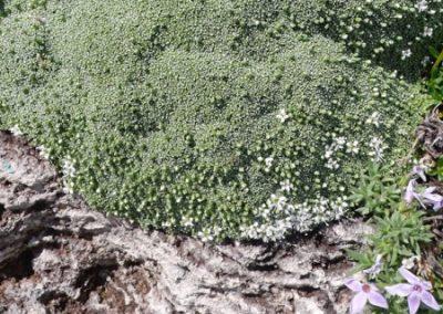 Arenaria tetraquetra var granatensis