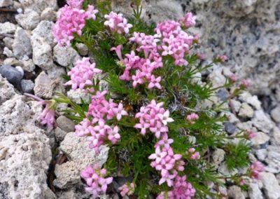Asperula arcadiensis