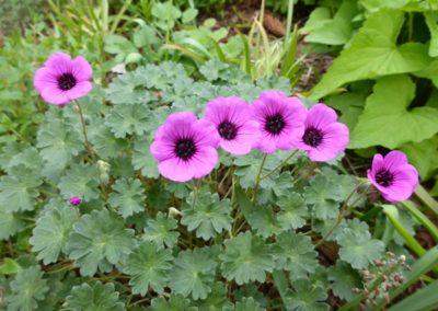 Geranium cinereum subsp. subcaulescens