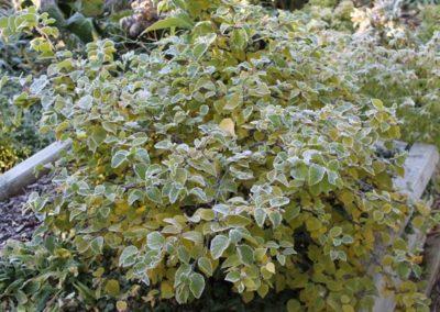 Betula apoiensis