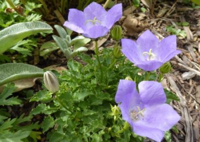Campanula carpatica 'Deep Blue Clips'