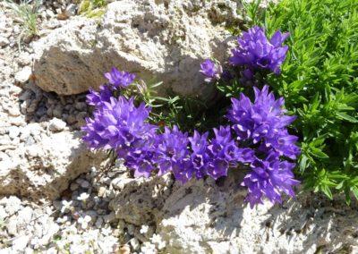 Edraianthus serbicus