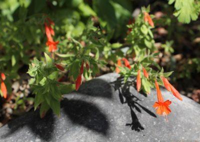 Epilobium (Zauschneria) canum subsp. garrettii
